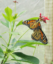 Butterfly from FlutterbyGardens.com