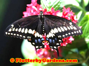 Black Swallowtail Male