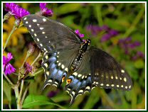 Eastern Black Swallowtail (photo © Oscar Gutierrez)