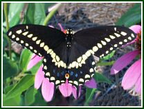 Eastern Black Swallowtail (photo © Edith Smith)