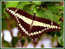Giant Swallowtail (photo © Oscar Gutierrez)