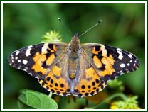 Painted Lady (photo © Oscar Gutierrez)